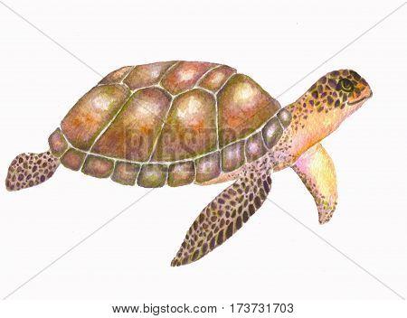 Sea turtle   watercolor illustration. Aqurelle sea turtle