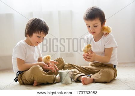 Two sweet little children preschool boys brothers playing with little chicks at home baby chicks in child hands