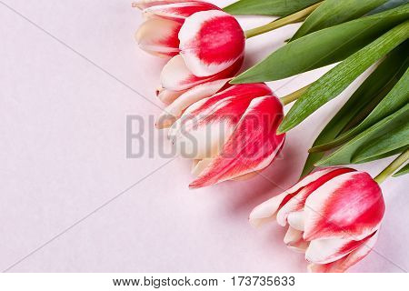 Tulips on pastel surface. Beautiful creation of God.