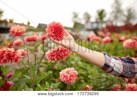 farming, gardening and people concept - hand of senior woman with dahlia flowers at summer garden