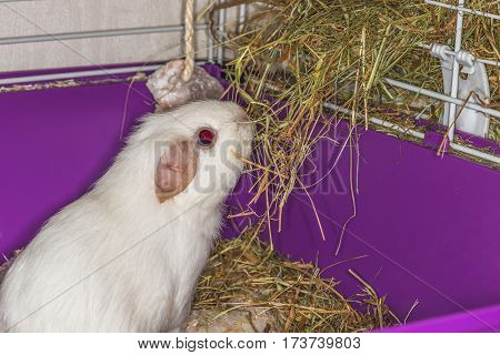 White pig eats hay.  This photo pet home for a meal.