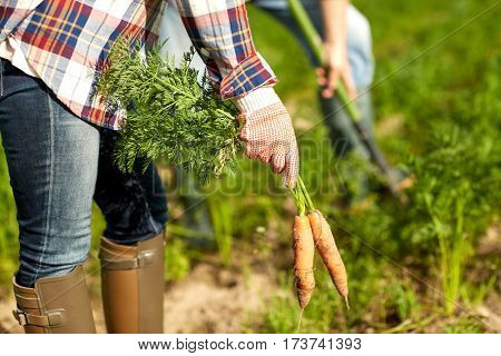 farming, gardening, agriculture, harvesting and people concept - farmer picking carrots at farm