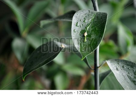 Green leaf of ruscus with small outgrowth and water drops closeup. Selective focus.