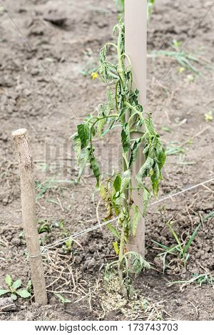The Stalk Infected Tomato Blight