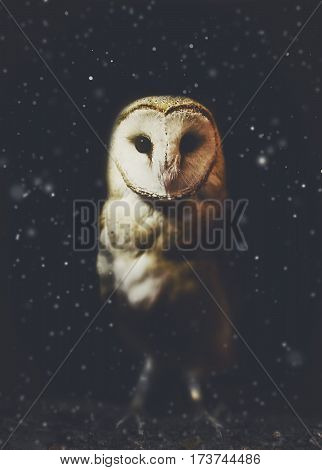 Barn owl winter portrait with dark and snow background. Soft focus on owl head retouched picture