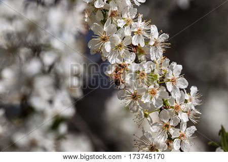 Bee collects pollen from white flowers on  flowering tree.