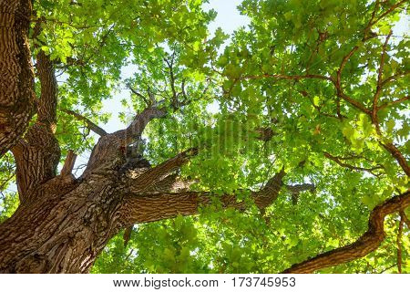 Green leaves on oak tree against sunny sky in a summer