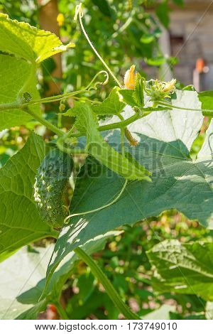 Close Up View Of Fresh Young Cucumber In Garden Organics Farm..