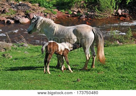 Foal sucking milk.  Mare feeds the young horse