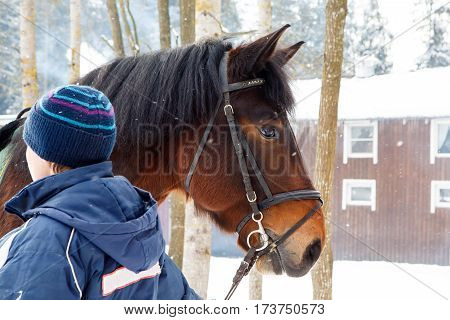 Muzzle of horse in winter with snow falling on her reins to the groom. Hardy gelding with thick hair chestnut color pulled in the reins in the cold. Frost horses for work in the Northern regions.