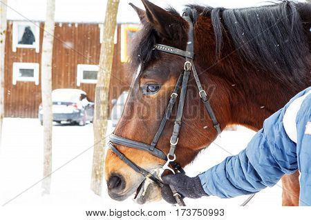 Muzzle of a horse in winter with snow falling on her reins to the groom. Hardy gelding with thick hair chestnut color pulled in the reins in the cold. Frost horses for work in the Northern regions.