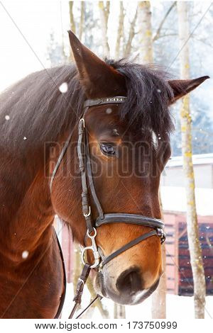Muzzle of a horse in winter with snow falling on her. Hardy gelding with thick hair chestnut color pulled in the reins in the cold. Frost horses for work in the Northern regions.