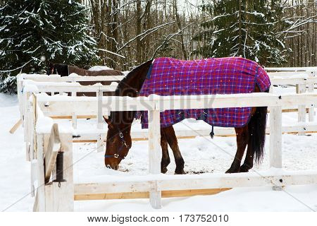Horse in winter is wearing a blanket in paddock stables. Hardy gelding with a walk in the snow in the cold. Caring for horses in the Northern regions.