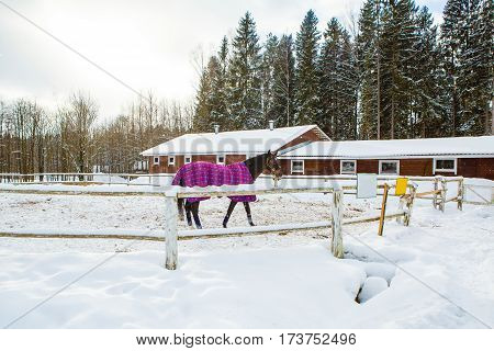 Horse in winter in paddock stables. Hardy gelding with a walk in the snow in the cold. Caring for horses in the Northern regions.