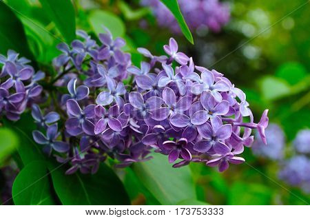 Spring lilac flowers in blossom - spring background with lilac flower in the spring garen. Spting landscape with lilac spring flowers in spring blossom
