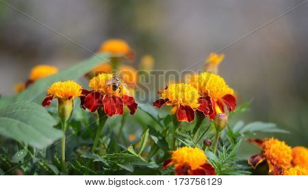 A large striped fly drinking nectar in the orange colors of the marigolds in the garden