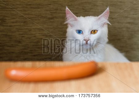 White hungry pretty angora cat with different colored eyes looking at the sausage