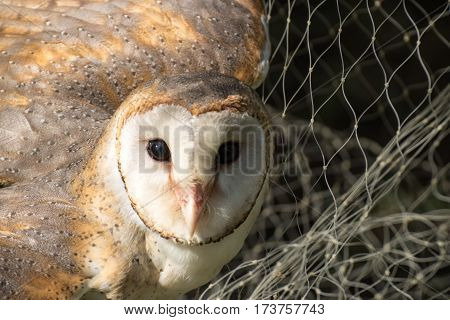 The barn owl that Be deceived by mist net trap
