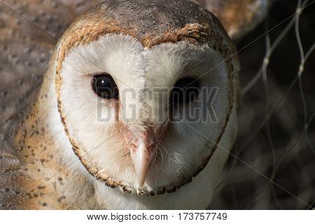 The barn owl that is beautiful bird
