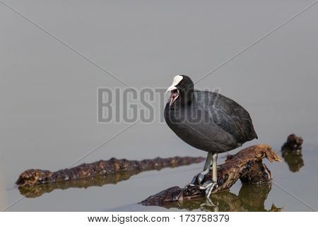 Portrait of shouting black coot (Fulica atra) standing on branch in water