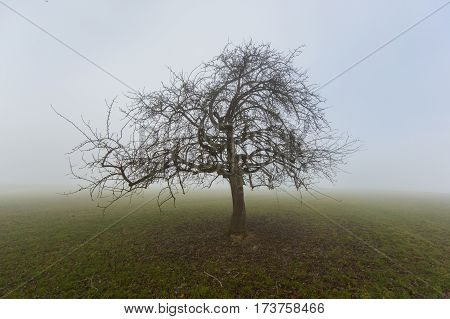 Natural lonesome fruit tree in winter in fog standing on grassland poster