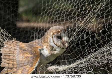 The barn owl and mist net trap
