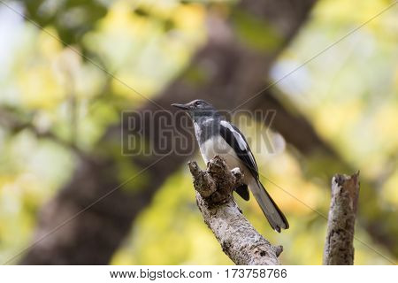 Oriental magpie robin perching on a branch