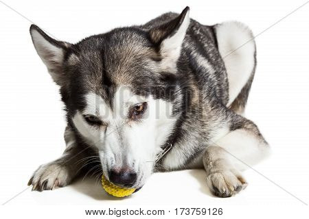 Alaskan Malamute lying on the floor with a toy, isolated on white Husky