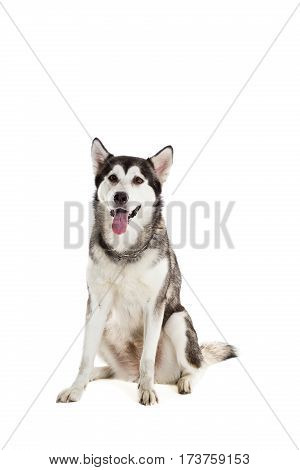 Alaskan Malamute sitting and looking at the camera, sticking the tongue out, isolated on white. Husky