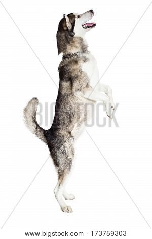 Alaskan Malamute standing on hind legs, sticking the tongue out, isolated on white. Husky