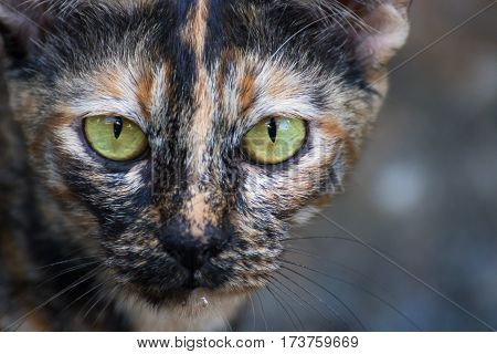 The domestic cat (Latin: Felis catus) is a small, typically furry, carnivorous mammal