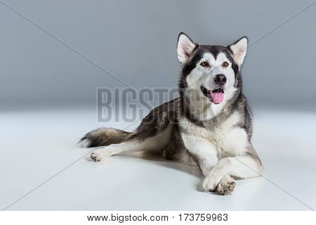 Alaskan Malamute lying on the floor, sticking the tongue out, on gray background. Husky