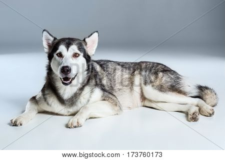 Alaskan Malamute lying and looking at the camera, sticking the tongue out, on gray background. Husky