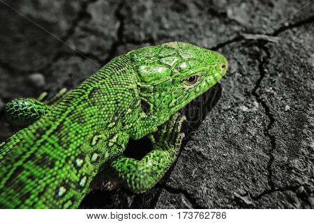 Head, part of torso of green iguana on dry cracked earth. Salamander motionless stopped. Reptile close up portrait. Lizard on stones close up focused image