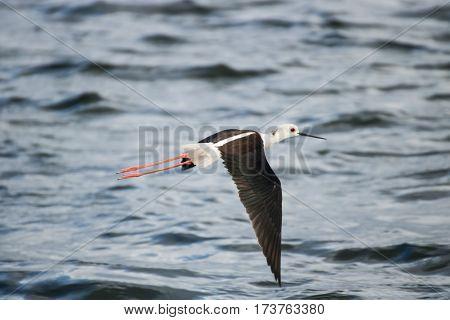 The Black-winged Stilt flying on sea surface