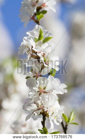 Branch of cherry in blossom with white flowers on blue sky vertical orientation.