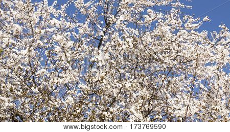 Top of cherry tree in blossom with white flowers on blue sky.