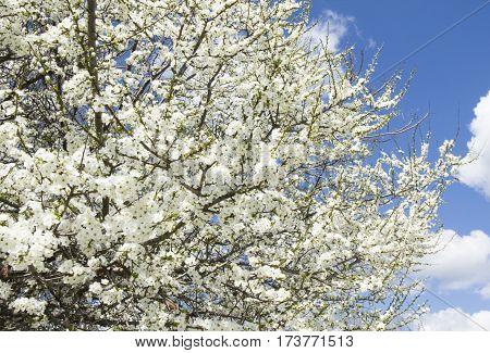 White cherry tree in blossom on blue sky.