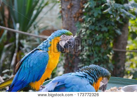 Macaws blue yellow parrots in a park.