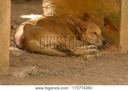 photo of an Indian feral dog sleeping in the shade on a hot day