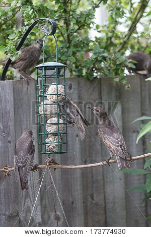 photo of a family group of fledgling starlings at a bird feeder