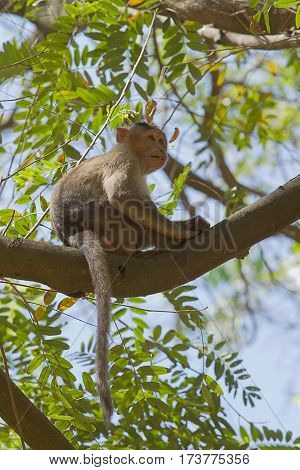 photo of a young Bonnet  Macaque sitting up in a tree looking down