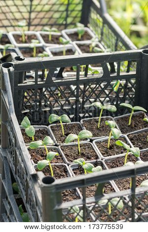 Nursery Cucumbers Ready For Seeding