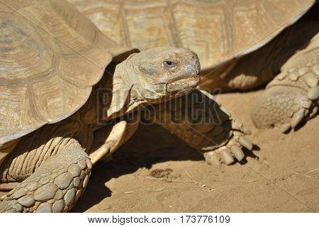 Closeup of a African spurred tortoise (Centrochelys sulcata) picture from Puerto de la Cruze Tenerife Spain.