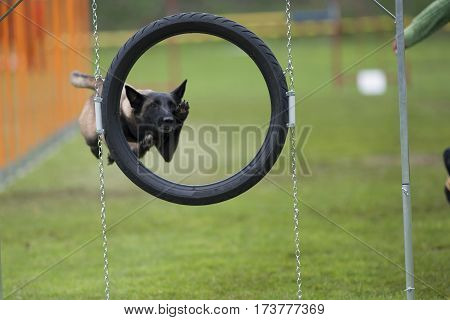 Cute Belgian Shepherd jump through agility hoop from tyre. He is in high long jump and in very interesting position with paws up like he is doing high five. His face is framed with black circle.