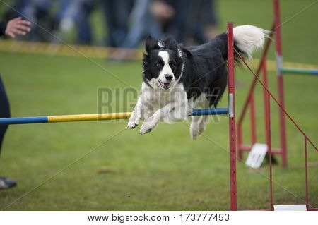 Border Collie enjoying on agility. He is playful and jump over single hurdle.