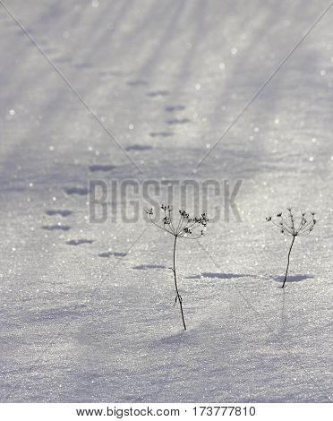 mouse tracks in the snow. Russia. South Urals.