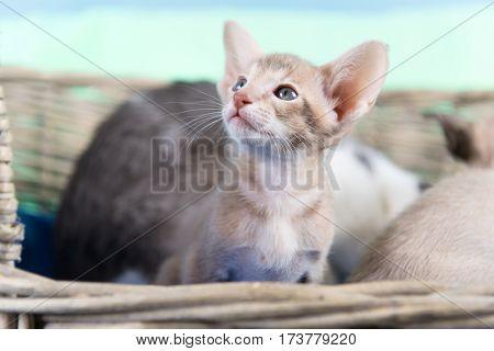 Little pure breed modern Siamese kitten sitting in basket