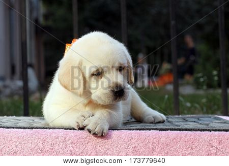 Little Cute Labrador Puppy On A Pink Background