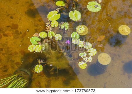 The Lotus Flower.Background is the lotus leaf and lotus flower and lotus bud and tree